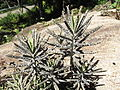 Kalanchoe tubiflora-yercaud-salem-India.JPG