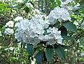 Kalmia latifolia (homeredwardprice) 001.jpg