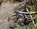 Keeled Skimmer. Male. Orthetrum coerulescens - Flickr - gailhampshire.jpg
