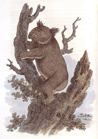 Koala - George Perry's illustration in his 1810 Arcana was the first published image of the koala.