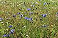 Kodersdorf - Schusterweg - Centaurea cyanus 01 ies.jpg