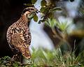 Koklass pheasant - Female (Pucrasia macrolopha)-7631.jpg