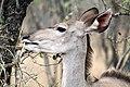 Kudu, Kruger National Park, South Africa (14791341298).jpg