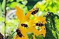 Kumbang Hycleus.jpg