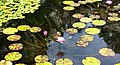 LILY POND (5-11-14) fairchild, tropical gardens, miami-dade co, fl (11) (14197225871).jpg