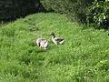 Lainzer Tiergarten Graugänse 04.jpg