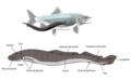 Lamprey illustration side.png