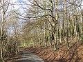 Lane through the beechwood - geograph.org.uk - 363312.jpg