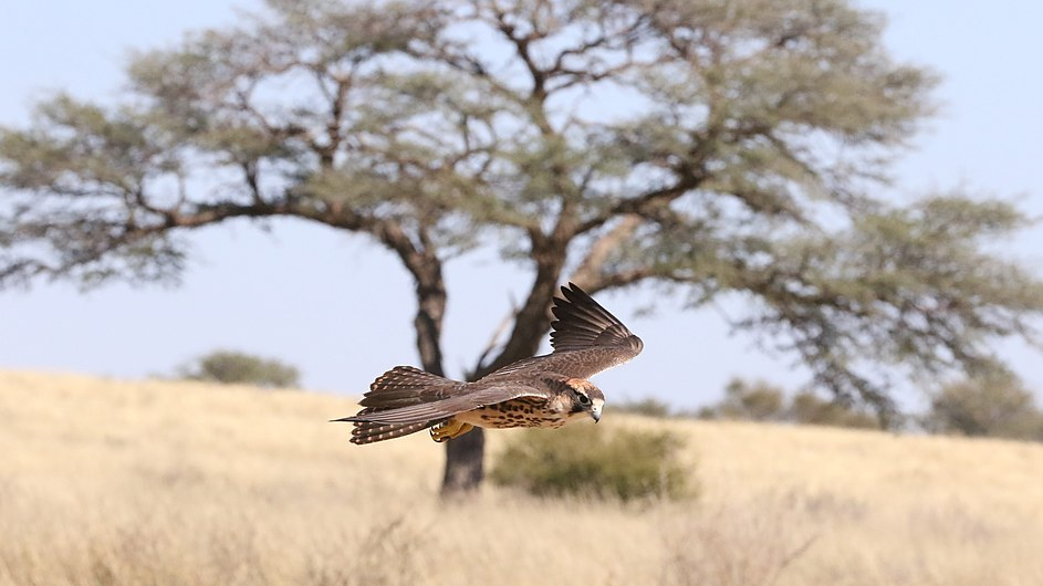 Lanner falcon, Falco biarmicus, at Kgalagadi Transfrontier Park, Northern Cape, South Africa (34415575312).jpg