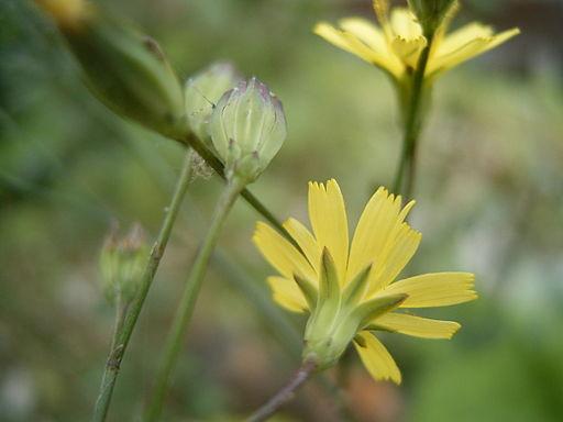 Lapsana communis flowerhead2