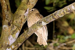 Large frogmouth species of bird