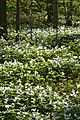 Large White Trilliums (Trillium grandiflorum) - Guelph, Ontario 02.jpg