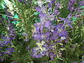 Larkspur or Delphinium from lalbagh 1801.JPG