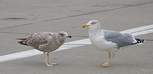 European herring gull - Adult Larus argentatus with yellow legs to the right, its offspring has the normal pink colour. This bird is not to be confused with the always yellow-legged Larus michahellis. Photo from Warnemünde (harbour of Rostock), Mecklenburg-Vorpommern, Northern Germany.