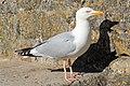Larus argentatus, Herring Gull, Cornwall 2.JPG