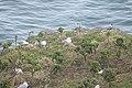 Larus argentatus-5017.jpg