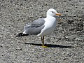Larus californicus adult.jpg