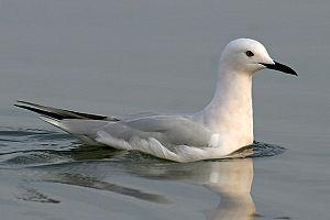 Slender-billed gull - Saloum Delta, Senegal