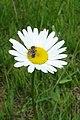 Lasioglossum sp. on Oxeye Daisy (Leucanthemum vulgare) - Thunder Bay, Ontario.jpg