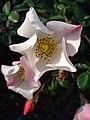 Last blossom - Flickr - Stiller Beobachter.jpg