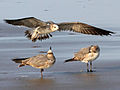 Laughing Gull RWD2c.jpg