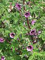 Lavatera arborea - Flickr - peganum (4).jpg