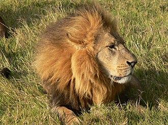 Maasai Mara - Image: León Kenia