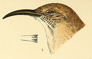 LeConte's thrasher - Leconte's thrasher illustration from Baird, 1905