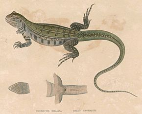 Description de l'image  Leiolepis belliana Hardwicke.jpg.