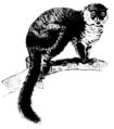 Lemur sp.png