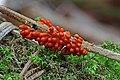 Leocarpus fragilis.Myxomycetes of Russia.jpg