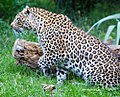 Leopard on the prowl (5082011619).jpg