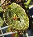 Lepanthes calodictyon -香港蘭花節 Hong Kong Orchid Festival- (40806747644).jpg