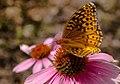 Lepidoptera (21078729612).jpg