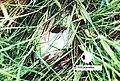 Leptodactylus ocellatus02a.jpg