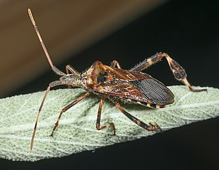 Western conifer seed bug species of insect