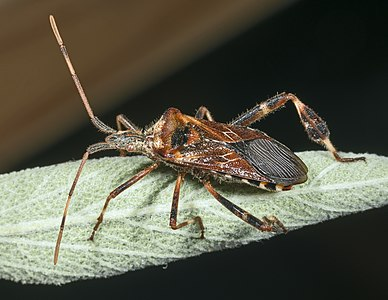 Leptoglossus occidentalis or the Western conifer seed bug