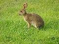 Lepus americanus - Blomidon Provincial Park 02.jpg