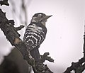 Lesser spotted woodpecker (50378294006).jpg
