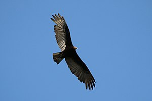 Lesser yellow-headed vulture - In the Pantanal, Brazil