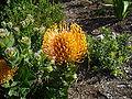 Leucospermum patersonii flower.JPG