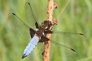 Vážka ploská (lat. Libellula depressa) - samček
