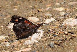 Libythea celtis - Nettle-tree Butterfly.jpg