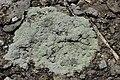 Lichen (42405077490).jpg