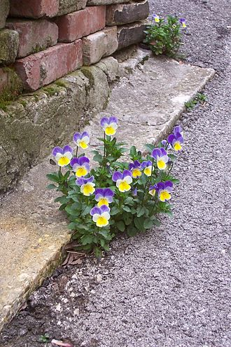 Pansy - Pansies growing at the edge of the pavement