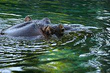 Lightmatter hippo4.jpg