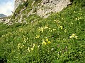 Lilium kesselringianum Caucasus 3.jpg