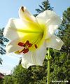 Liliumsulphureumflower4.jpg