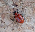 Lily Beetle. Lilioceris lilii - Flickr - gailhampshire (1).jpg