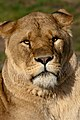 Lion, Woburn Safari Park.jpg